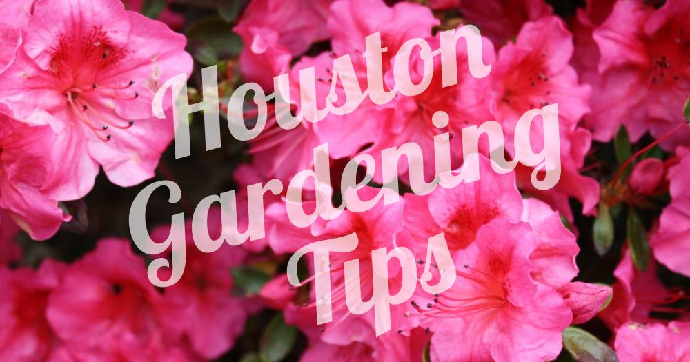 Houston Gardening Fruit Trees To Flowers Butterflies To Basil Rcw